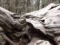 Felled Sequoia, Kings Canyon/Sequoia National Park
